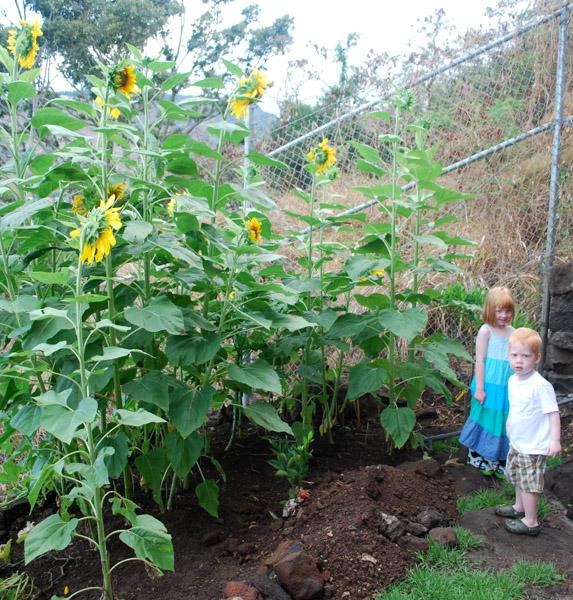 Grow a Sunflower House