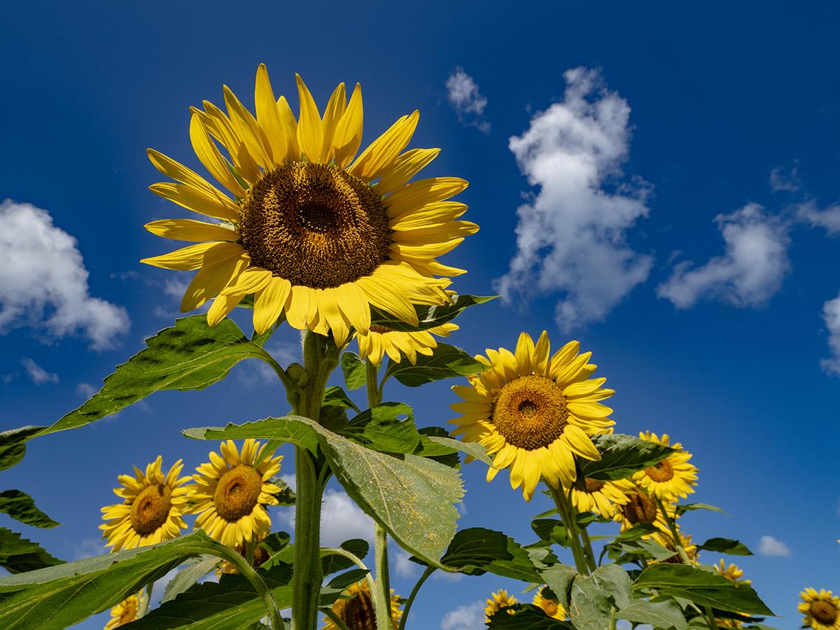 Sunflowers In Hawaii David Croxford Honolulu Magazine