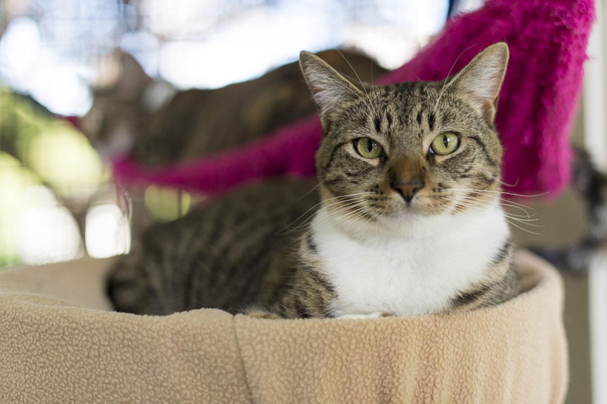 Hawaiian Humane Society Cat Jiro 1200