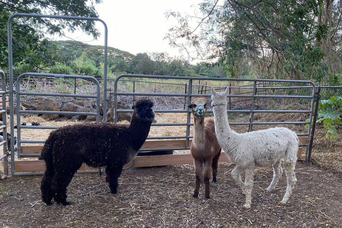 Alpaca2 Courtesy Of Nalo Keiki Paniolo
