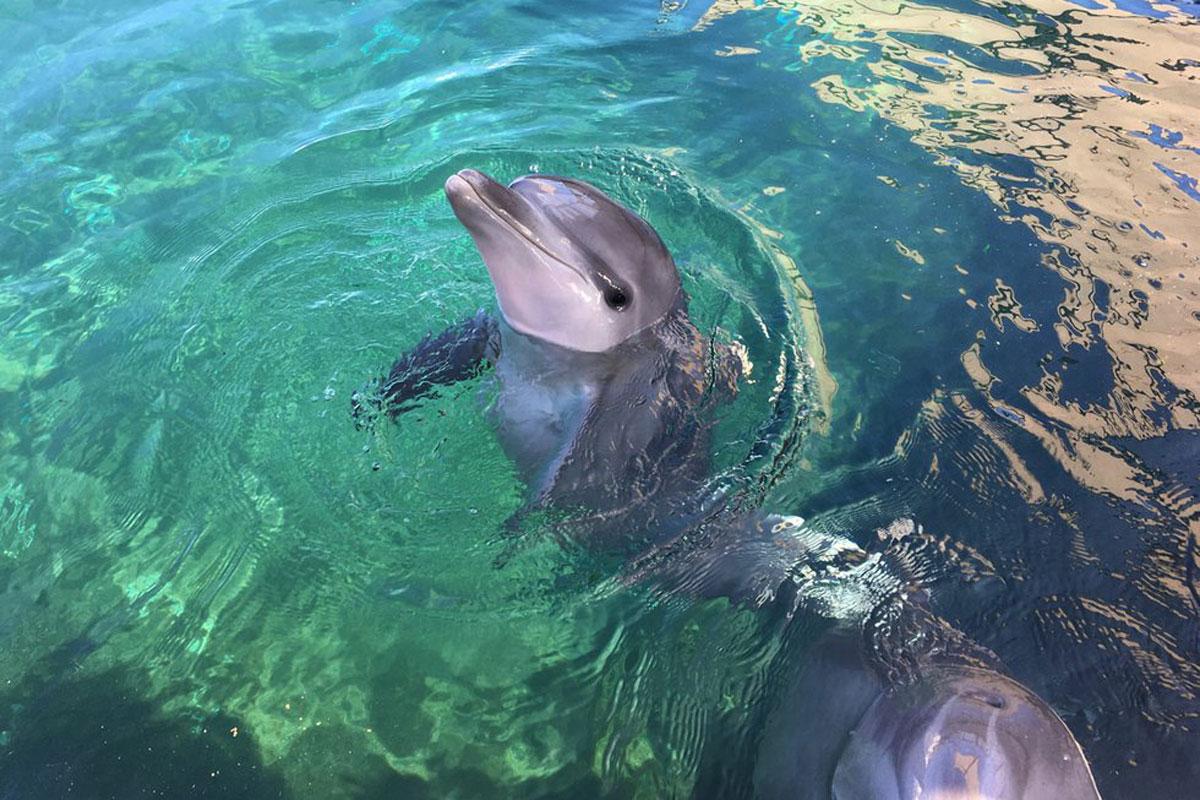 Baby Kanoa Dolphin Courtesy Sea Life Park