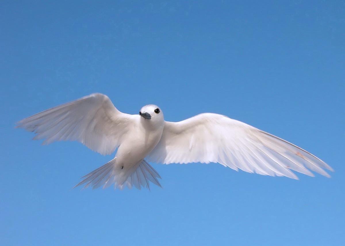 White tern82 Wp