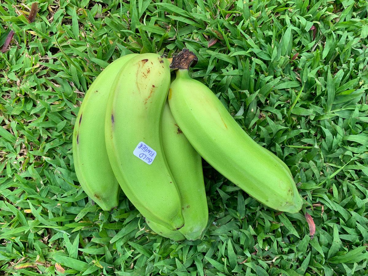 Banana Source Box Goldfinger Photo Christi Young