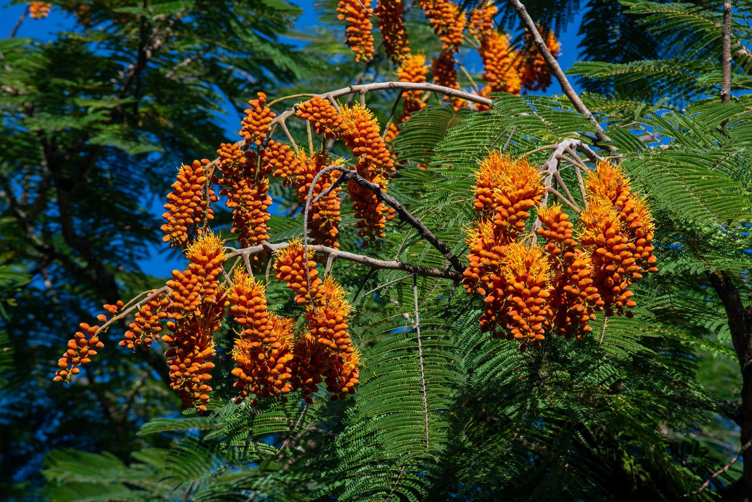 Colvillea Racemosa Things To Do June 25 Waimea Valley 8
