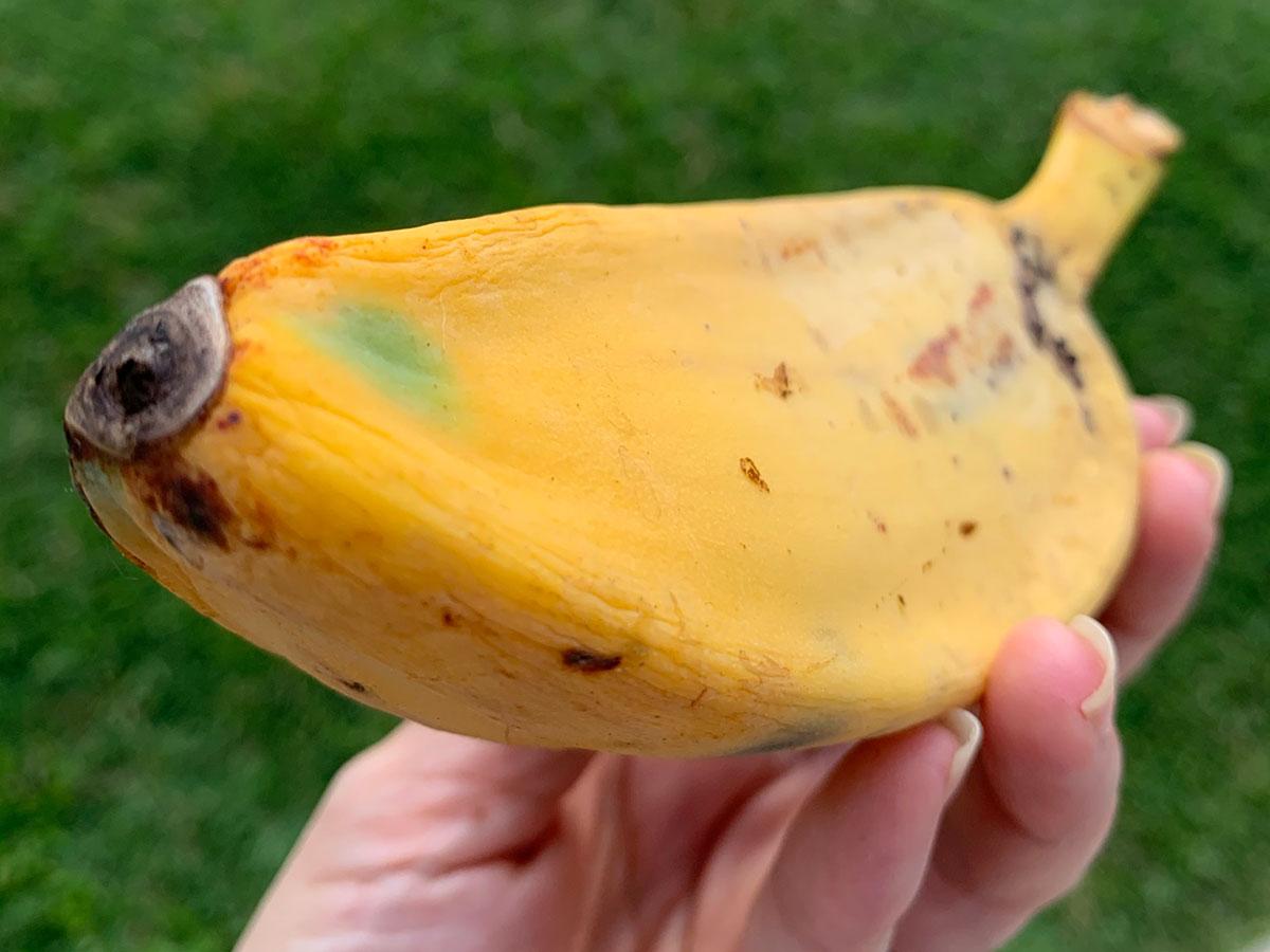 Banana Source Saba Angle Photo Christi Young