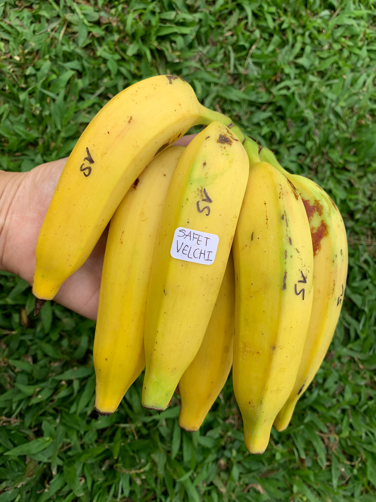 Banana Source Safet Velchi Photo Christi Young