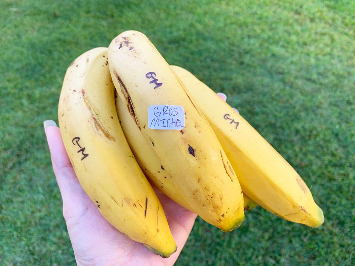 Banana Source Gros Michel Photo Christi Young