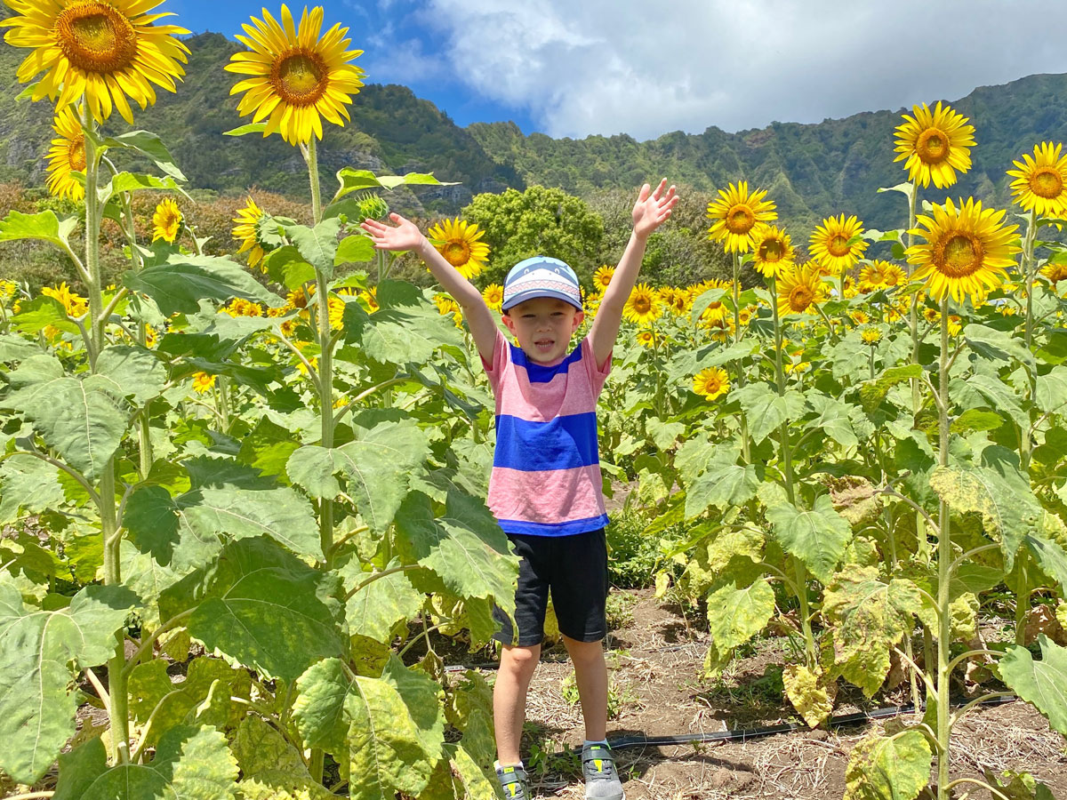 Waimanalo Country Farms Sunflowers Duke In Flowers Photo Laura Dornbush