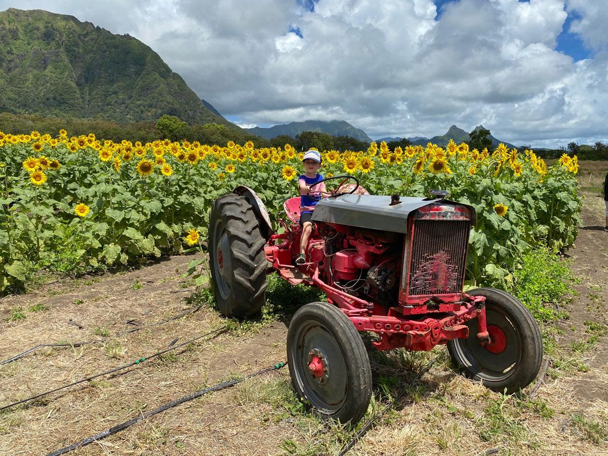 Waimanalo Country Farms Sunflowers Tractor Photo Laura Dornbush