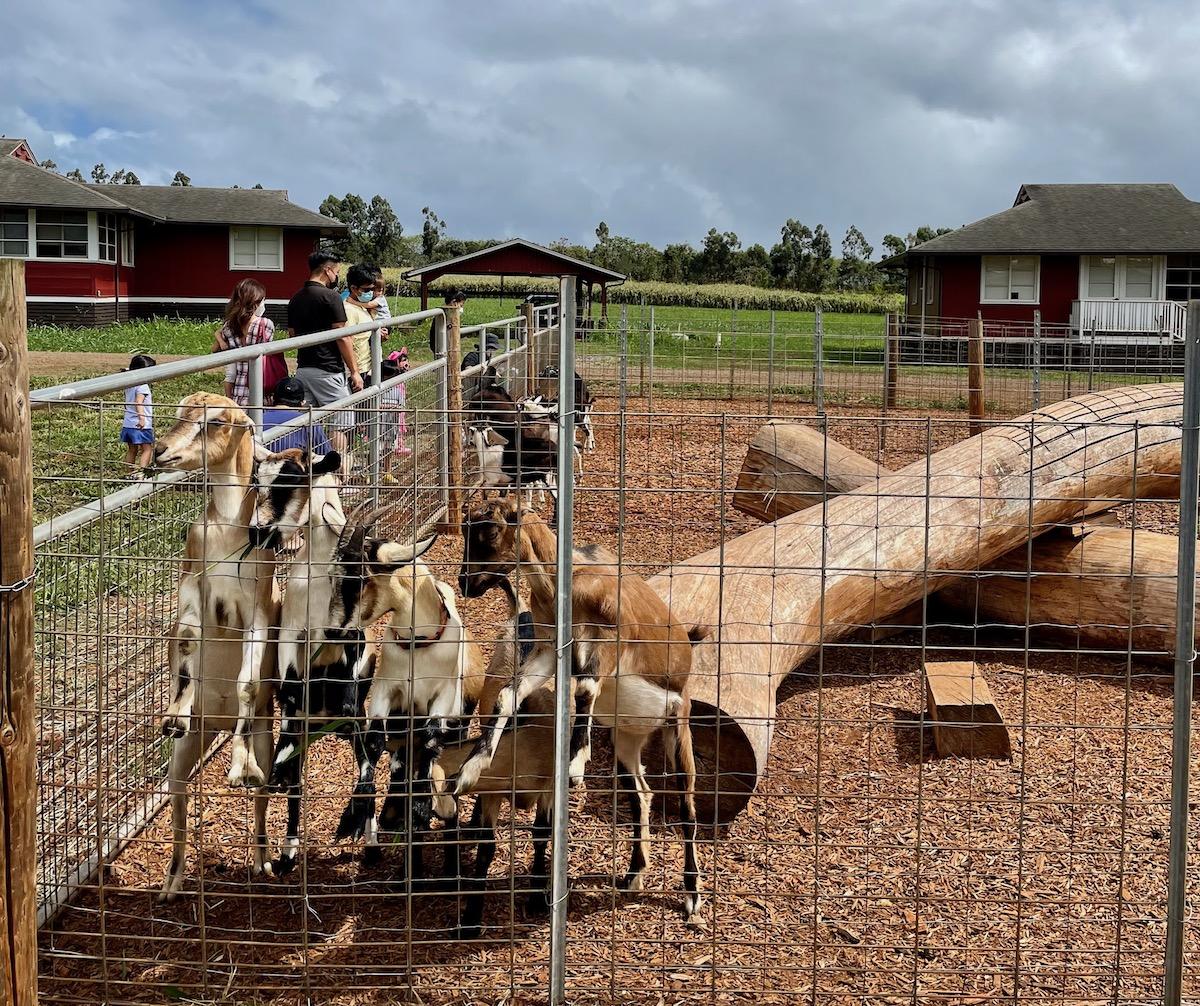 Sweet Land Farm Goats Credit Martha Cheng