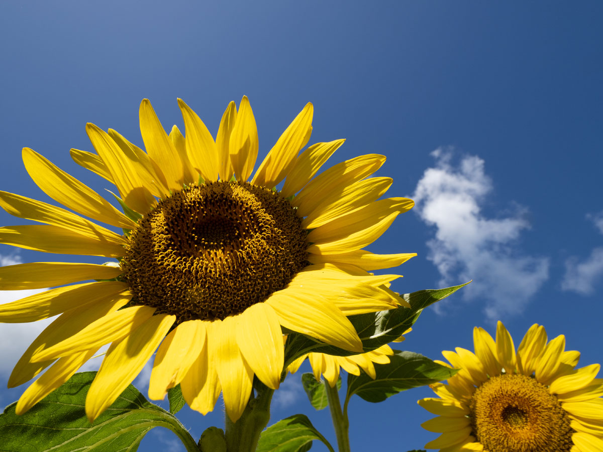 Sunflowers Photo David Croxford