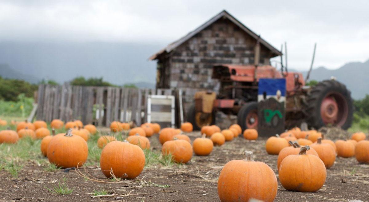 Pumpkin Patch Photo Waimanalo Country Farms