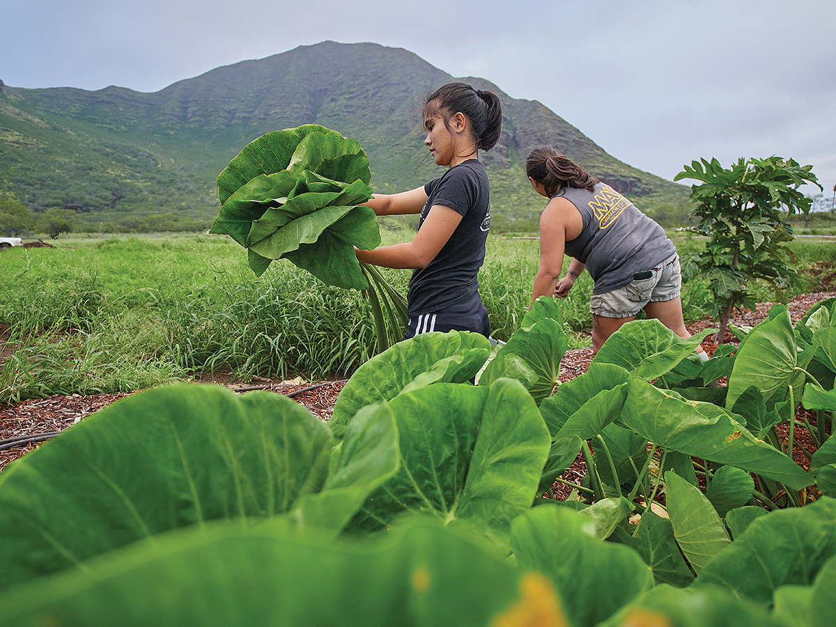 Can We Ever Eat All Local In Hawaii Mao Farm Lettuce