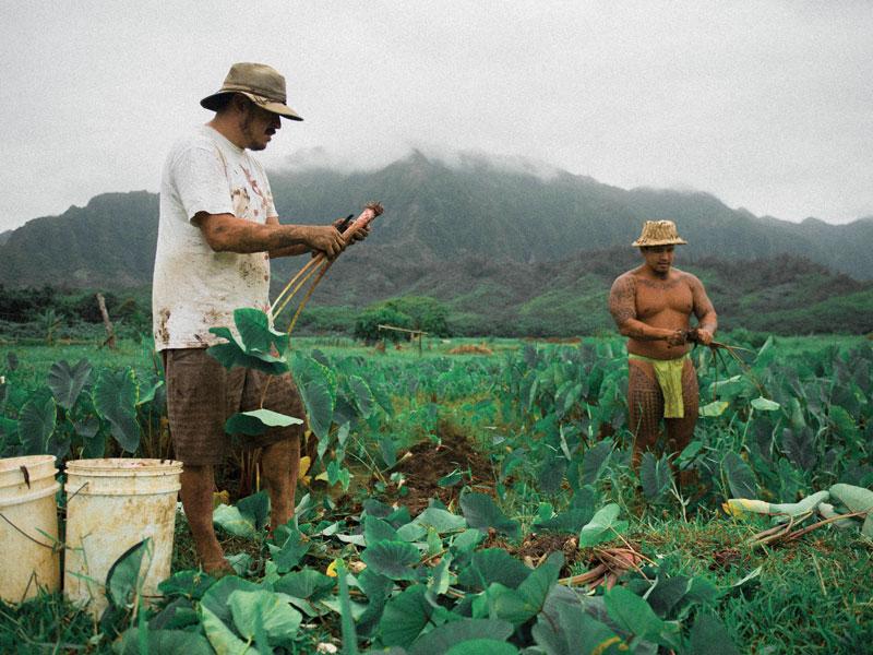 Taro farms