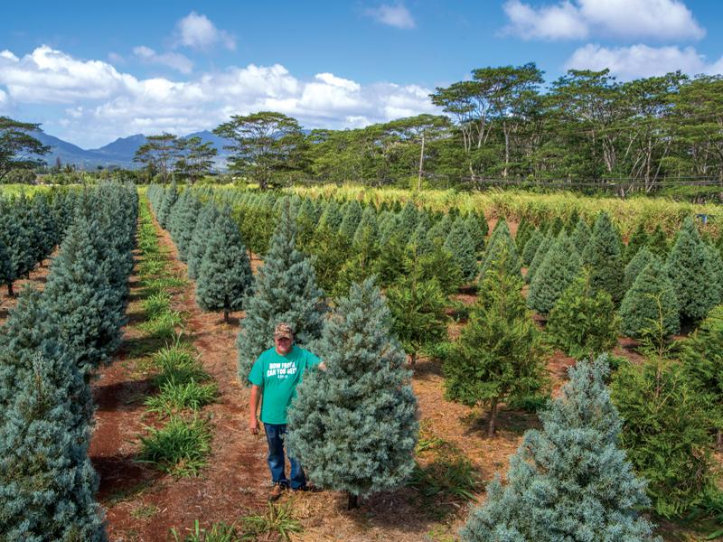 Calabash Helemano Farms Christmas Tree